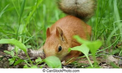 Red squirrel deftly gnaws nuts in the park - red squirrel in...