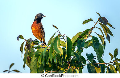 Orchard Oriole Songbird perched on a bush - Orchard Oriole...