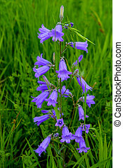 The bellflower Siberian
