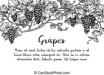 Grapevine ink sketch - Banner template. Hand drawn vector...