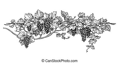 Grapevine ink sketch - Hand drawn vector illustration of...