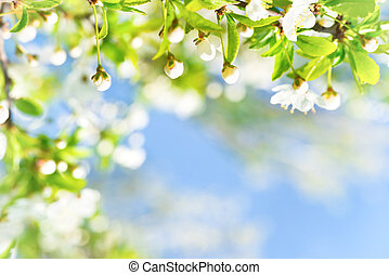 White flowers with buds on a blossom cherry tree, soft...