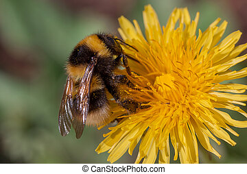 Bumble bee gathers nectar from a dandelion flower.