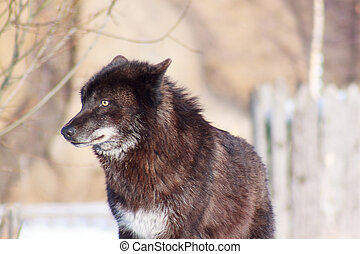 Black canadian wolf looks out for its prey. Animal wildlife.