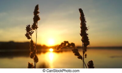 Nature plants lake sun - Sunset or Sunrise. The reeds and...