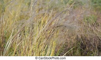 Feather grass in the steppe, day