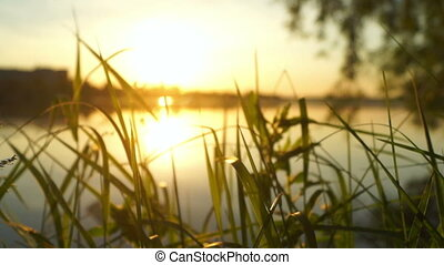 Beautiful plants lake dawn - View of golden orb of the sun...