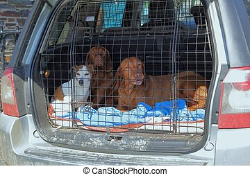 Three dogs in a dog cage in the back of an estate car or station wagon