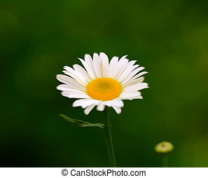 Daisy flowers in the summer season, selective focus
