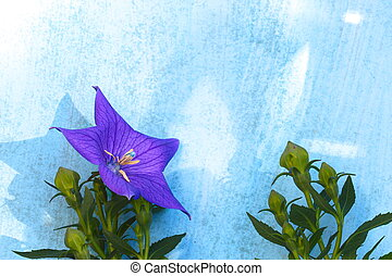 Balloon flower on a wooden blue background