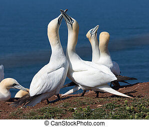 Couple of Northern gannets in breeding colony at Herman...