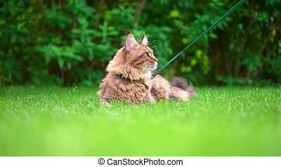 Maine Coon on grass in garden - Black tabby Maine Coon cat...