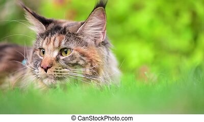 Maine Coon on grass in garden - Tortoiseshell Maine Coon cat...