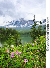Wild roses and mountain lake in Jasper National Park - Wild...