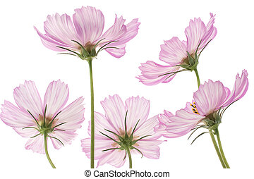 cosmos - Studio Shot of Pink and White Colored Cosmos...