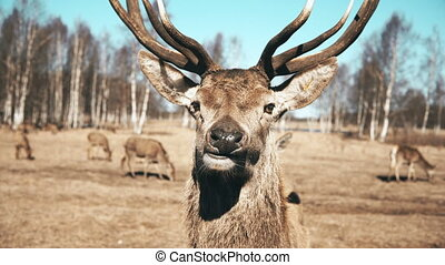 Large brown deer looking in the camera and chews, herd of...
