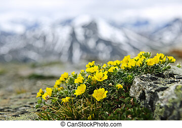Alpine meadow in Jasper National Park - Alpine meadow with...
