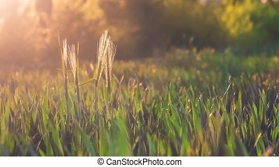 Wheat stems stick out from filed and moving by the wind in warm spring evening sunset light flares