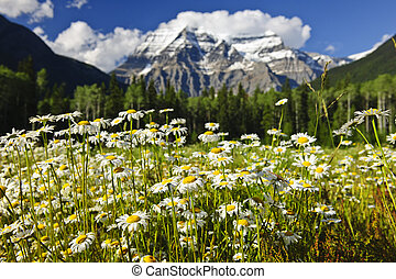 Daisies at Mount Robson provincial park, Canada - Daisies...