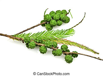 Bald Cypress Cones and Leaves - Bald Cypress is a conifer...