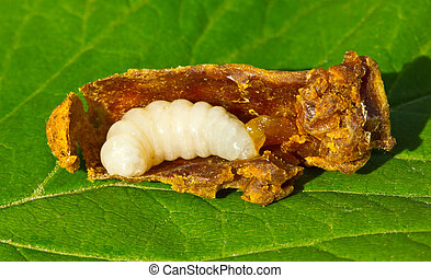 Larva of the bee queen