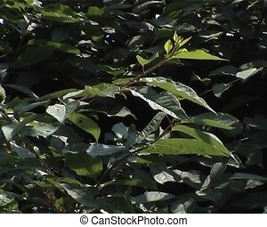 Grean leaves and branches of Birdcherry tree swaying in the...