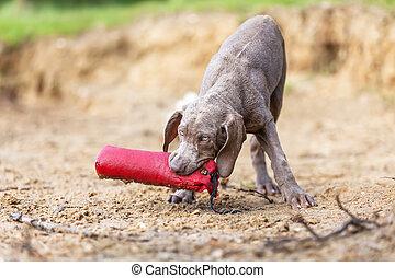 focinho, brinquedo,  weimaraner, Filhote cachorro