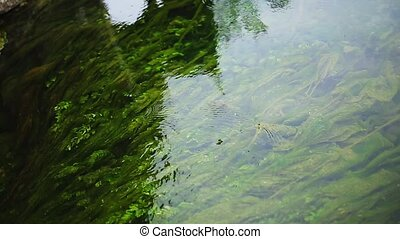 Green algae in the river water.