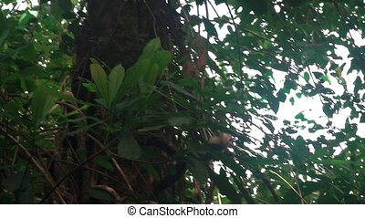 Wild monkey jumping between trees in slow-motion
