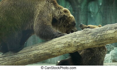 Two bears playing together outdoors. Playful animals in zoo....