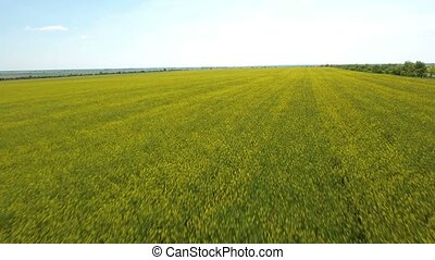 Aerial shot of an agricultural yellow and green field in...