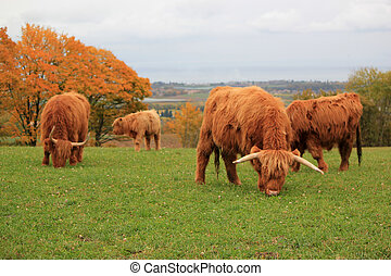 Herd of beautiful highland cows