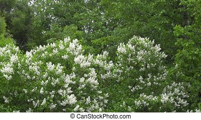 Beautiful flowers white lilac