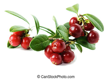 Red cowberry isolated in white