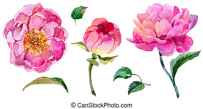 Wildflower peony flower in a watercolor style isolated....