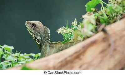 Chinese Water Dragon at Khao Yai national park - Closeup...