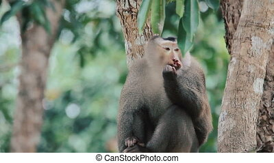 Old wounded monkey leader sits on a tree and looks after his...