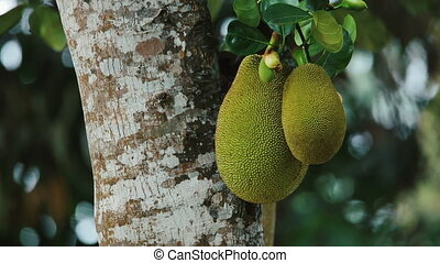 Jackfruit Tree and two young jackfruits Fruit in South East...