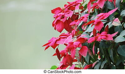 Red flowers background. Red flowers blooming in the garden....