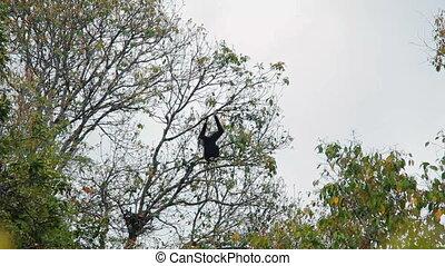 Black gibbon sitting on a tree - Adult Black gibbon sitting...