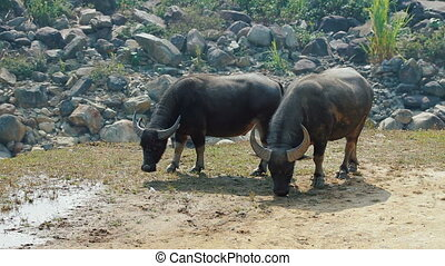 Asian buffaloes grazing on terraced mountains in Sa Pa,...