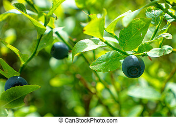 Wild blueberry in forest on the bush with green leaves....