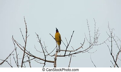 Black-crested Bulbul (Pycnonotus flaviventris) bird at Khao...