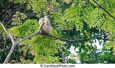 white gibbon sitting on a tree - Adult white gibbon sitting...