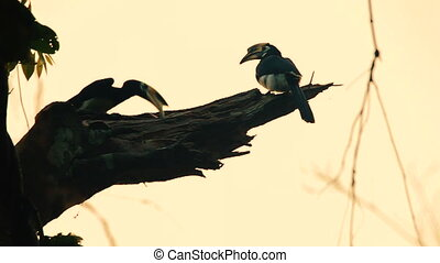 Oriental pied Hornbills sitting on a tree at sunset in Khao...