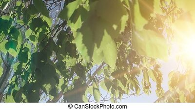 Forest tree leaves. Nature green wood sunlight footage....
