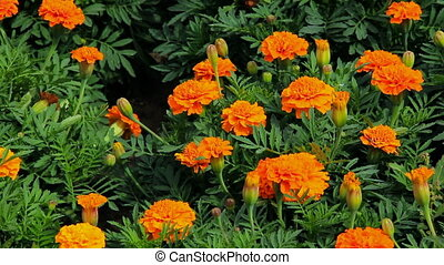 HD Womans palm strokes the marigold flowers
