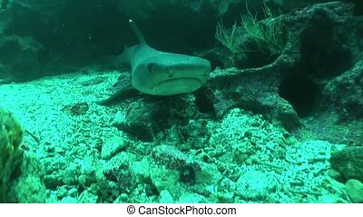 Shark diving Underwater Video Galapagos islands Pacific...