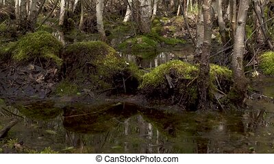 Green marsh moss among trees - Green marsh moss on stumps...