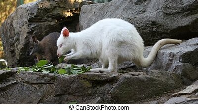 grazing white albino kangaroo, Red necked Wallaby - grazing...